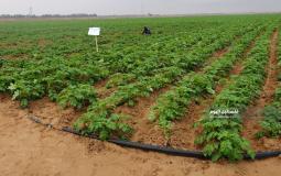 محاصيل زراعية على حدود خانيونس (1)