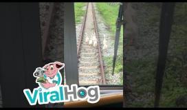 White Geese Walk on Train Tracks || ViralHog