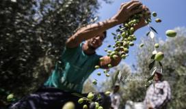 قطف ثمار الزيتون في قطاع غزة (8).JPG
