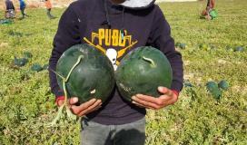سويرح:  تحقيق اكتفاء ذاتي لمحصول البطيخ في غزة وخالي من الأمراض