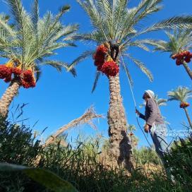 بدء موسم جني ثمار النخيل في قطاع غزة